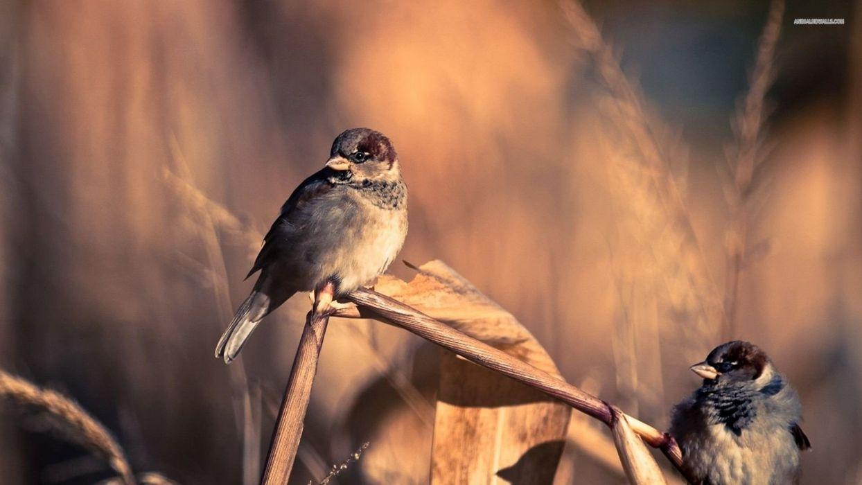 sparrows animals bird cute wallpaper
