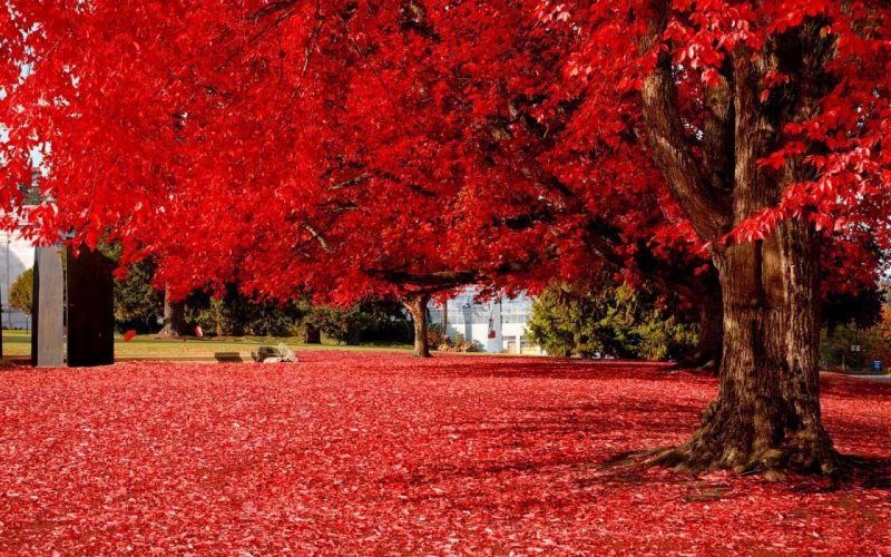 amazing red tree nature wallpaper