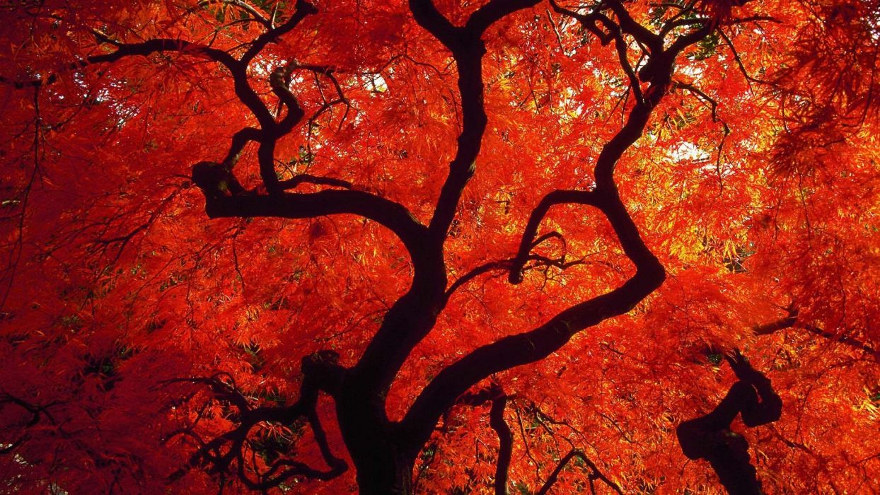 red tree nature beauty wallpaper