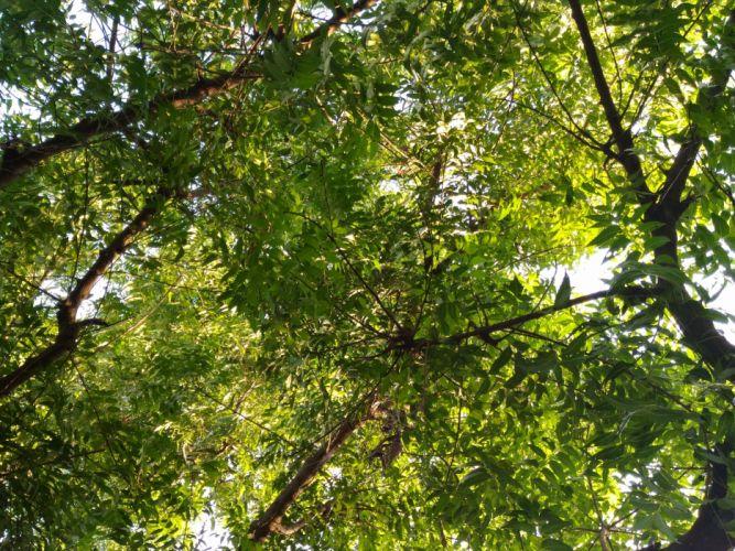 Neem Tree wallpaper