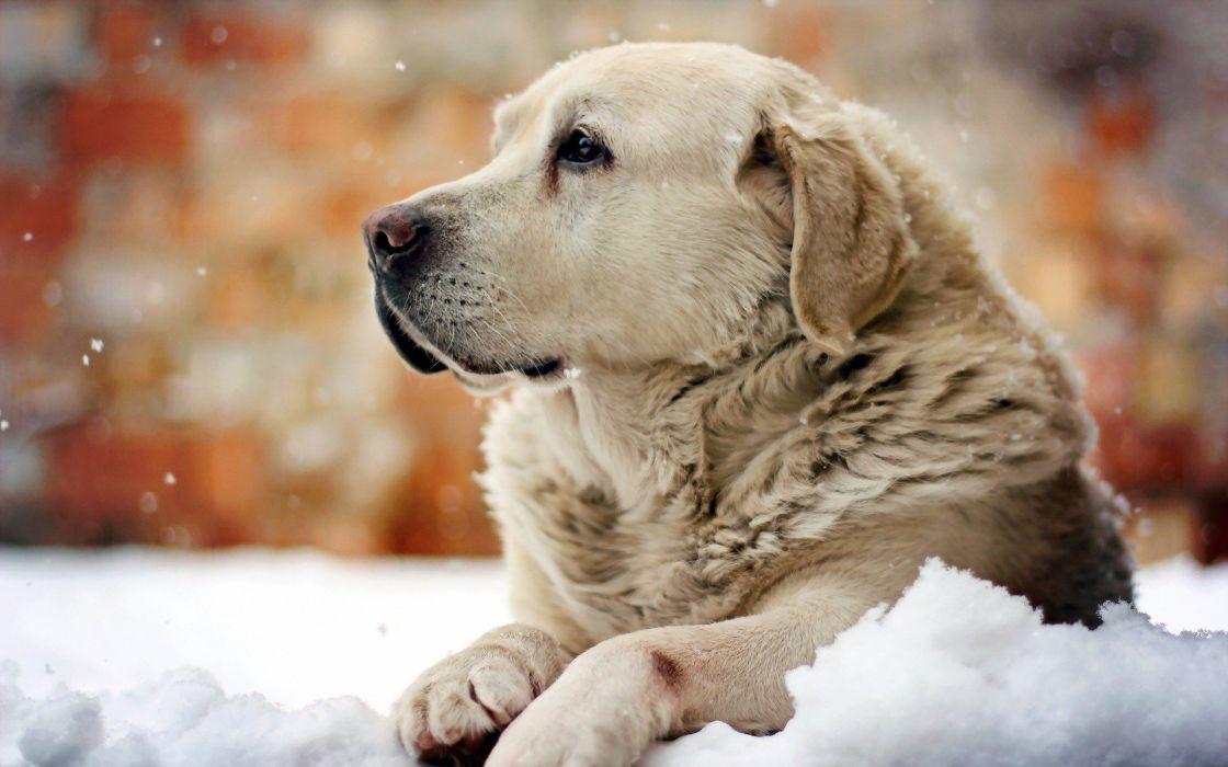 Perro blanco nieve wallpaper