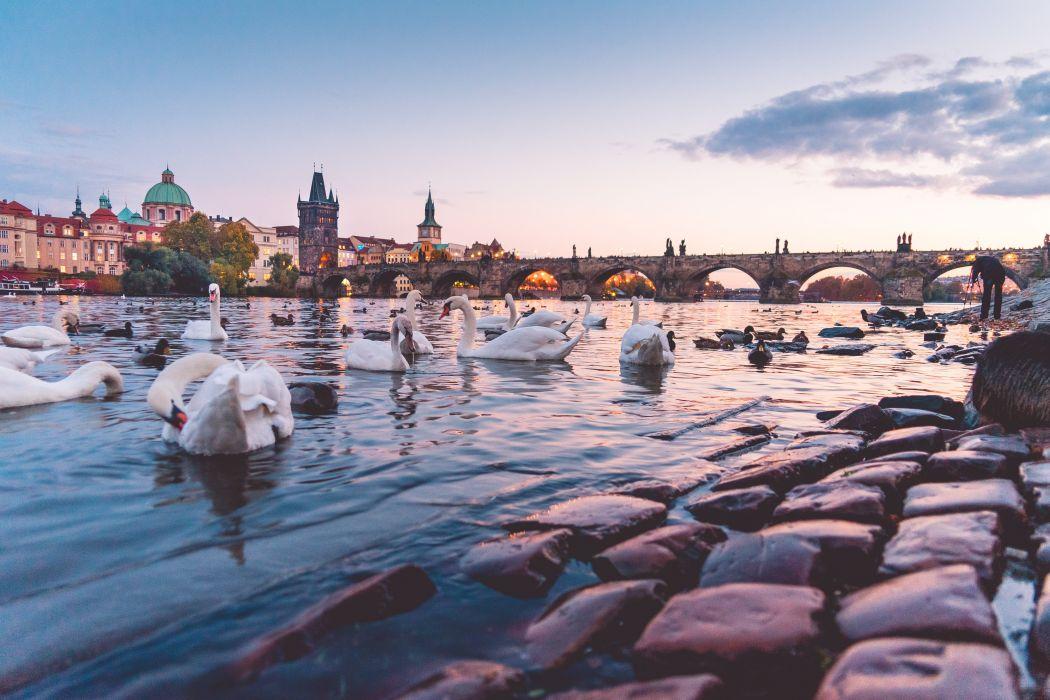 beautiful sunset panorama with swans and charles bridge in prague picjumbo animal city wallpaper