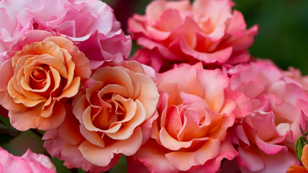 Rose Roses Nature Bokeh Landscape Flowers Flower Garden wallpaper