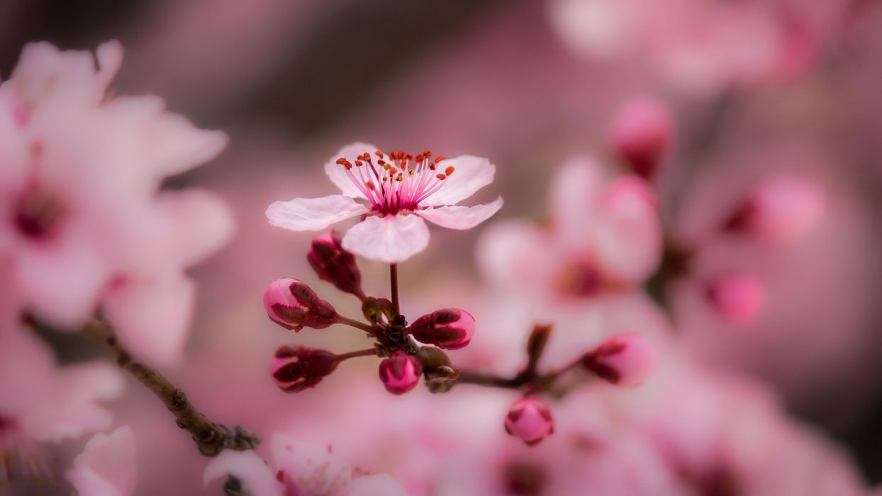 spring macro photo theme bloom pink background flower beautiful wallpaper