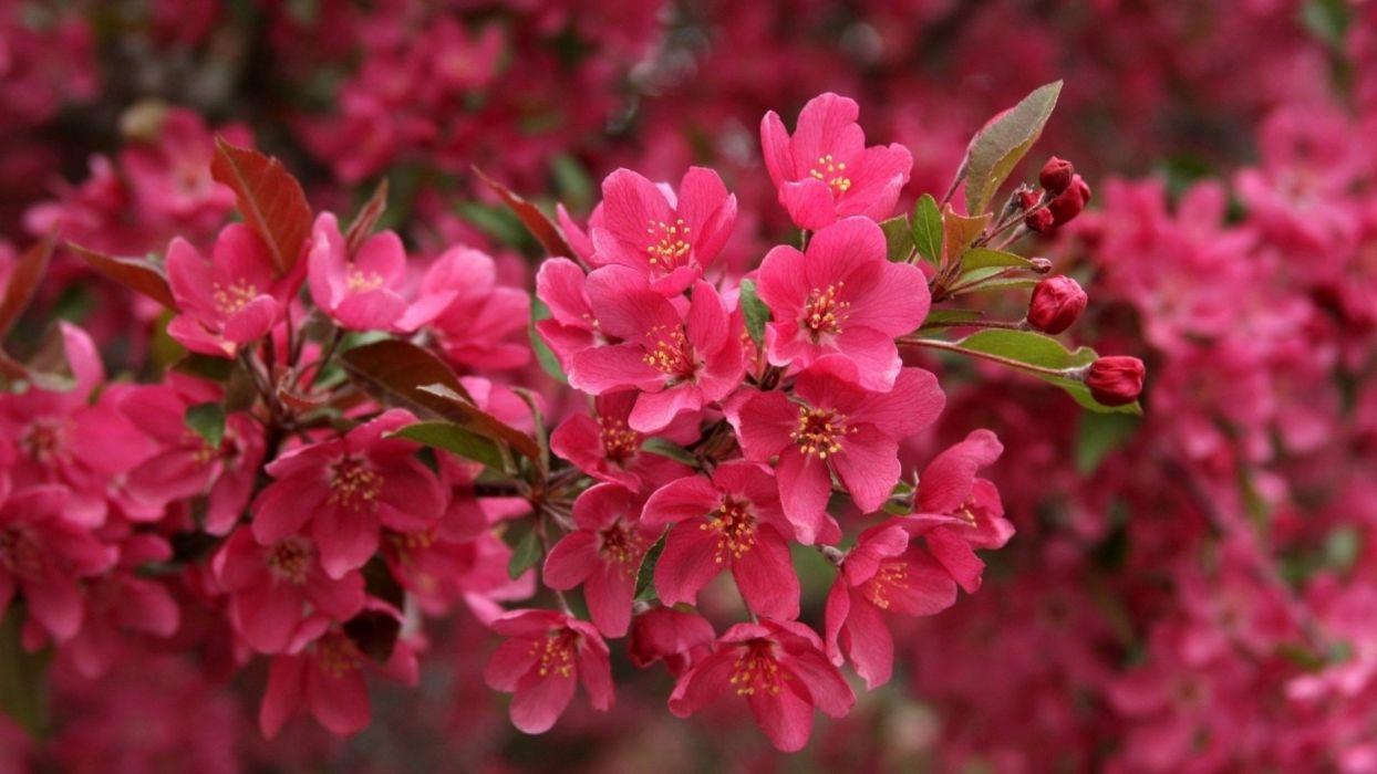 blossom cherry beautiful wallpaper