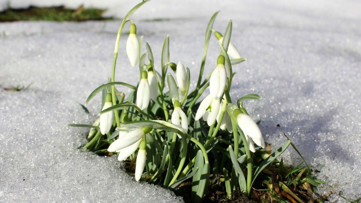 spring flowers snowdrops snow close-up photo wallpaper