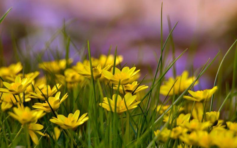 flore amarillas naturaleza wallpaper