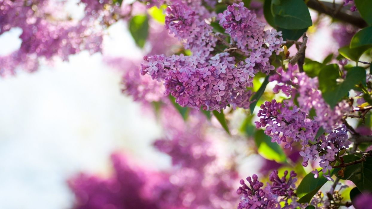 lilac inflorescence petals spring beauty nature wallpaper