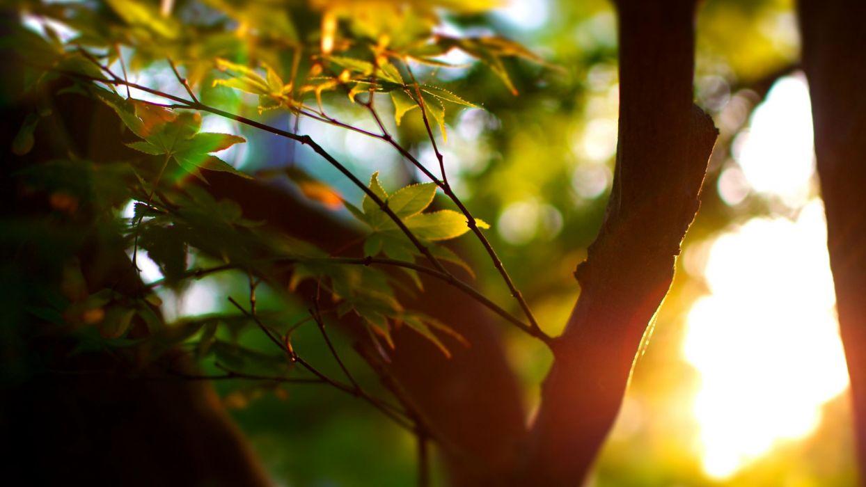focus bokeh macro summer trees leaves tree wallpaper