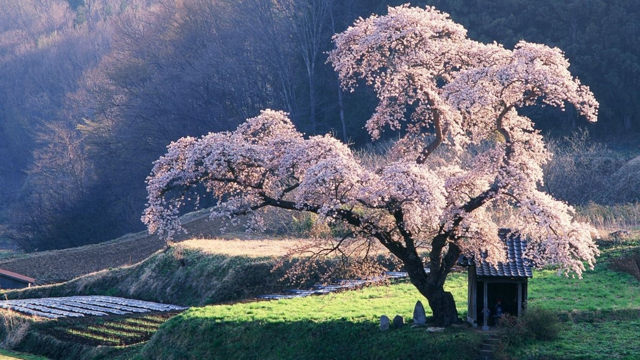 spring tree cherry flowering beautiful  wallpaper