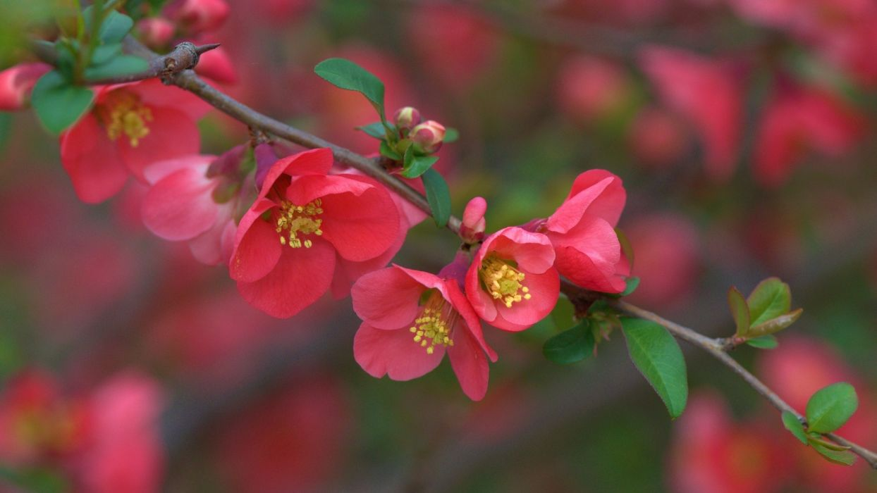 quince branch flowers bloom close-up wallpaper