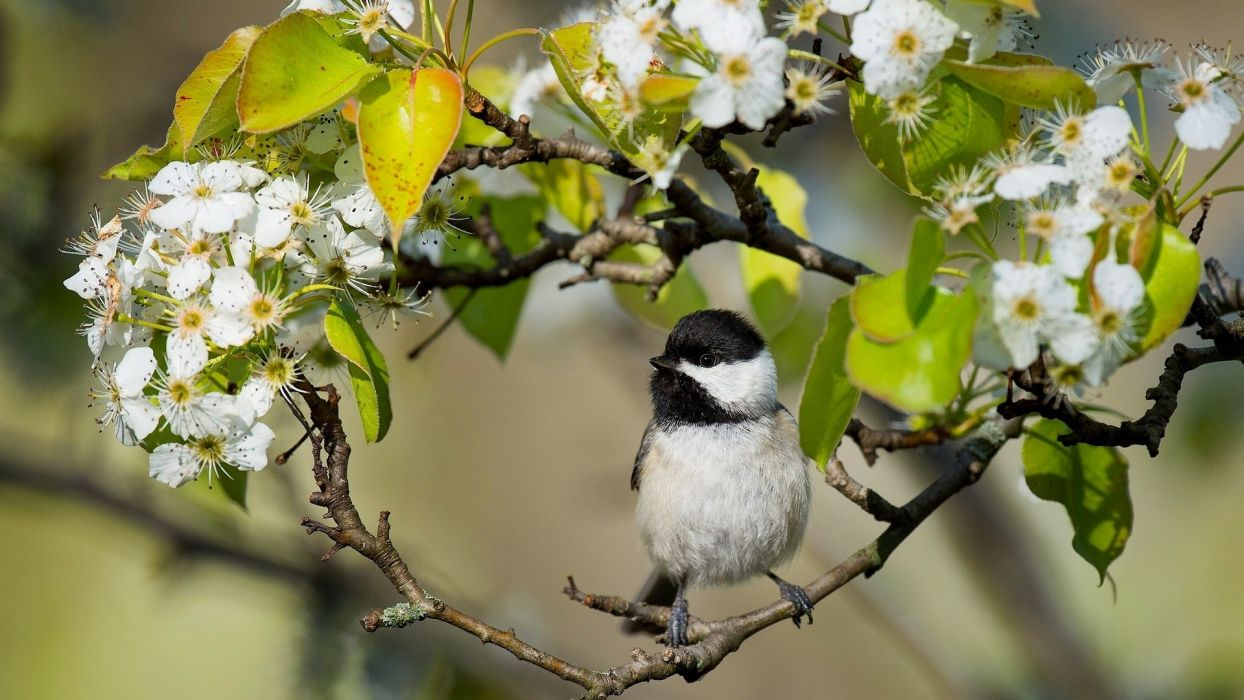Caroline chickadee chickadee bird bird branch flowering flowers  wallpaper