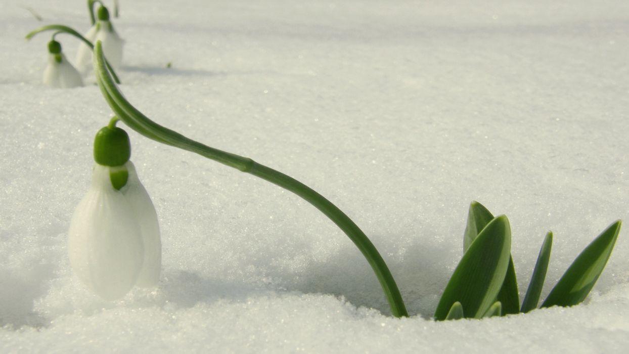 snowdrop flower snow beautiful spring wallpaper