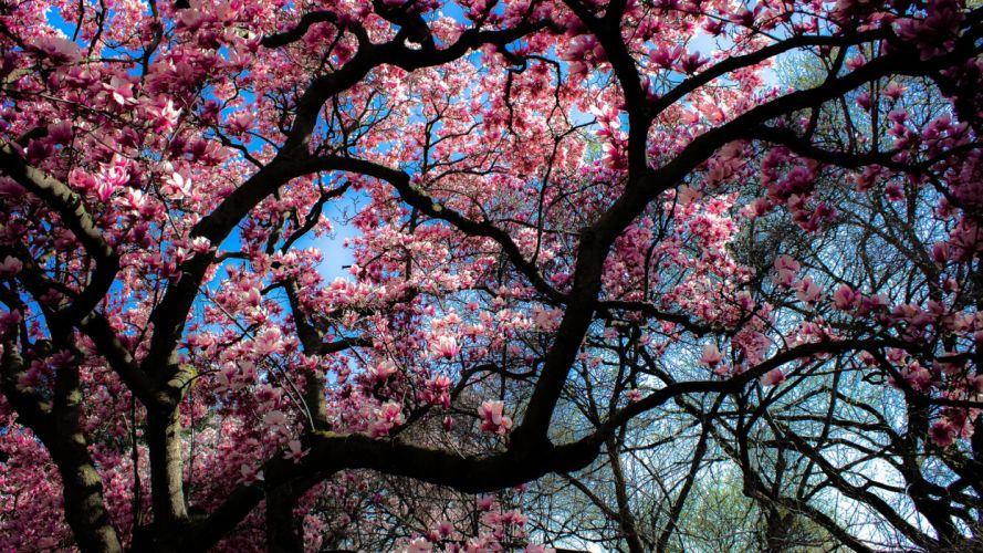 magnolia tree bloom spring wallpaper