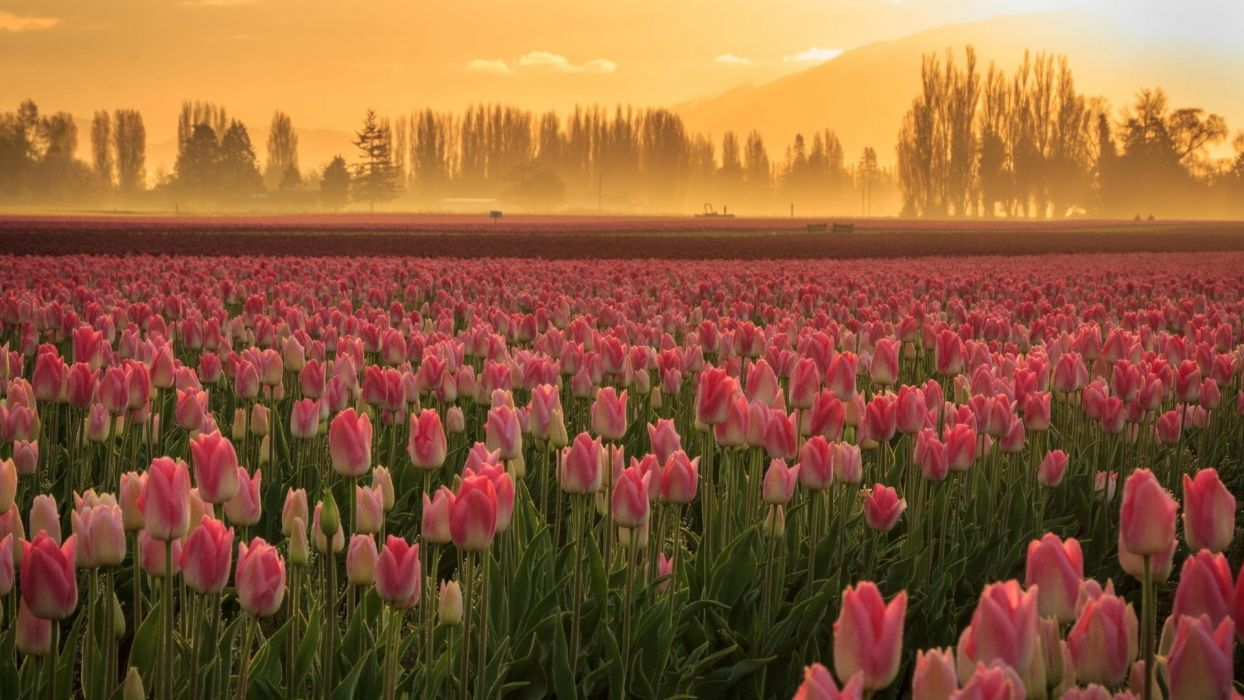 flowers tulips nature field  wallpaper