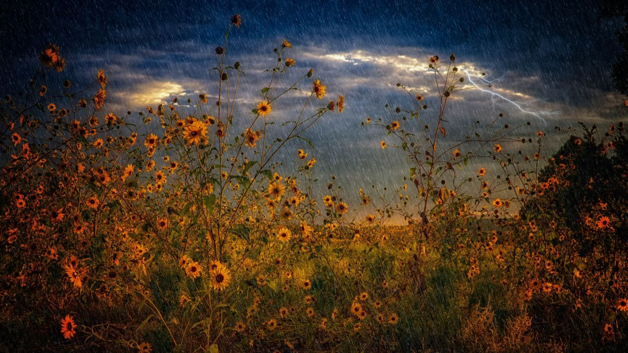 field flowers rain storm lightning nature  wallpaper