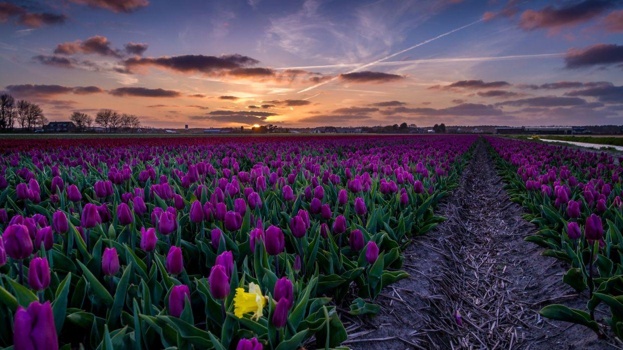 landscape field tulips sunset sky flowers  wallpaper