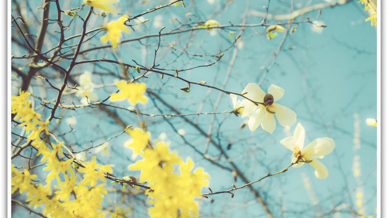 spring flowers magnolia frame yellow  wallpaper