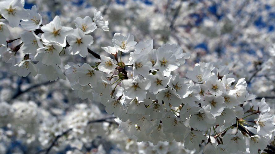flowers sakura cherry blossoms spring branch wallpaper