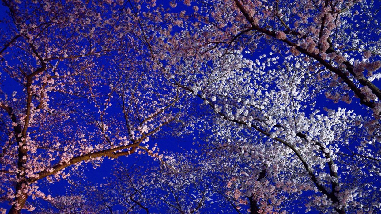 Japan Kyoto spring flowers cherry blossom  wallpaper