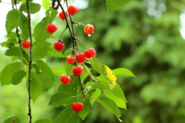 cherry berries tree garden leaves green summer drops wallpaper