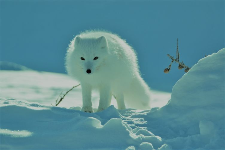arctic fox wolf snow 3008x2000 (1) wallpaper