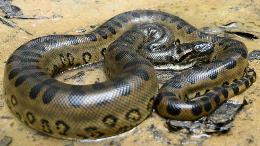 anaconda reptiles animales wallpaper