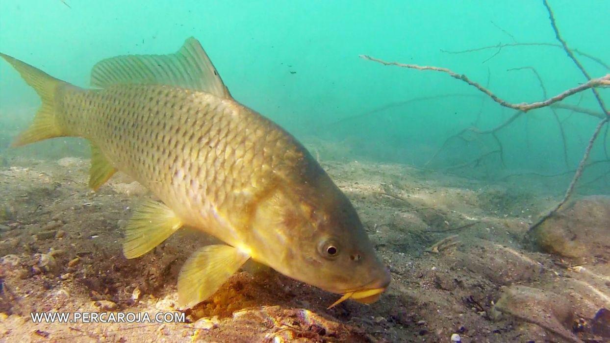 pez rio carpa animales wallpaper