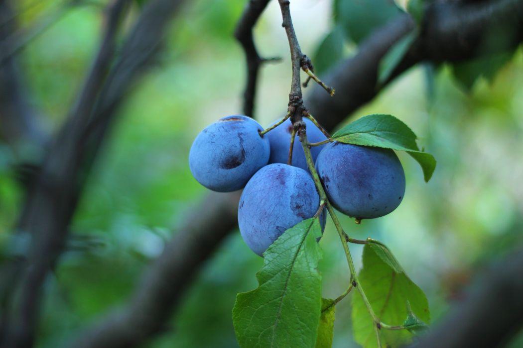blue plums leaves tree garden ripe wallpaper