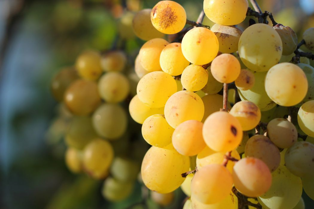 ripe grape yellow tasty harvest autumn wallpaper
