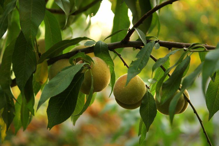 peaches brunch leaves summer garden wallpaper