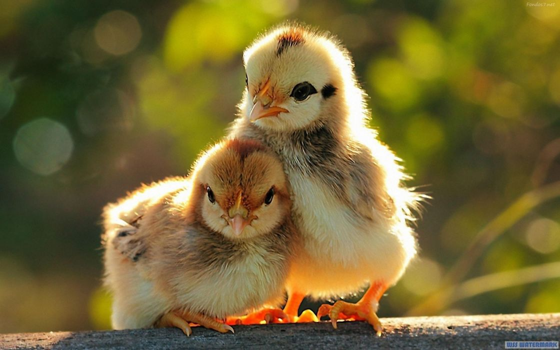 Image of: Nature Pollitos Ave Animales Wallpaper Wallpaperup Pollitos Ave Animales Wallpaper 2880x1800 1076914 Wallpaperup