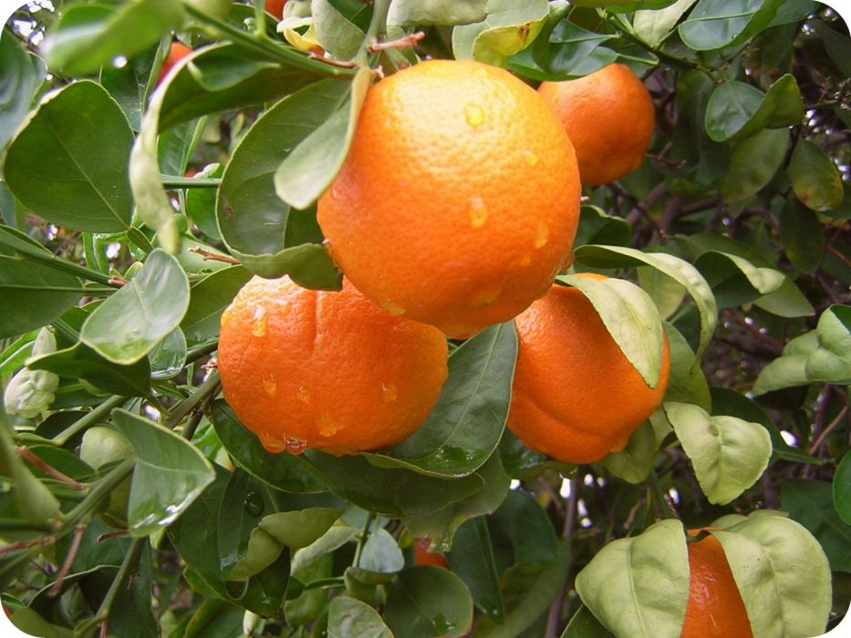 naranjas arbol naturaleza wallpaper
