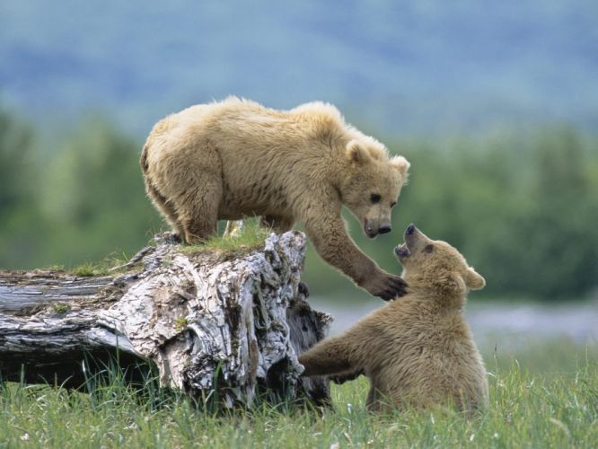 cachorros osos jugando wallpaper