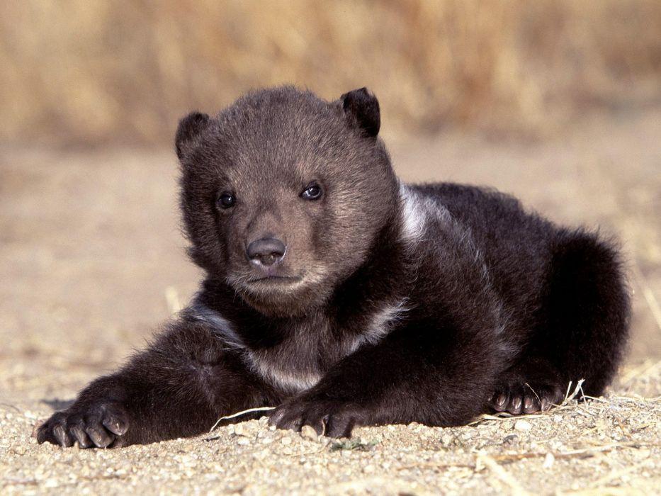 cachorro oso animales wallpaper