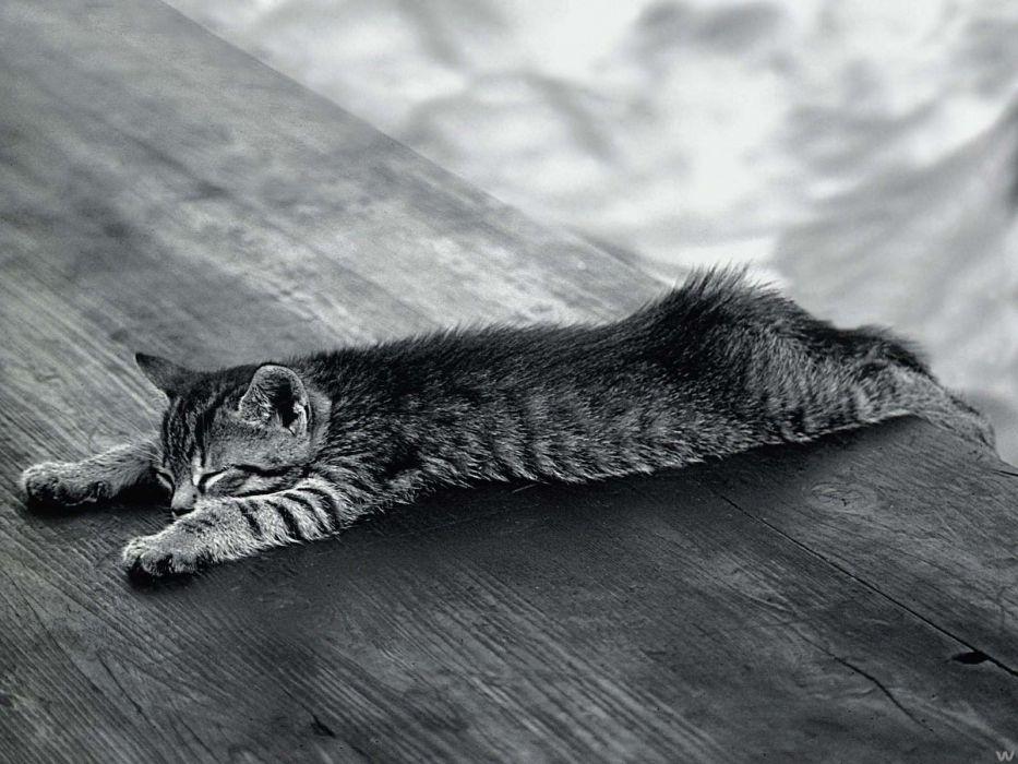 gato americano acostado wallpaper