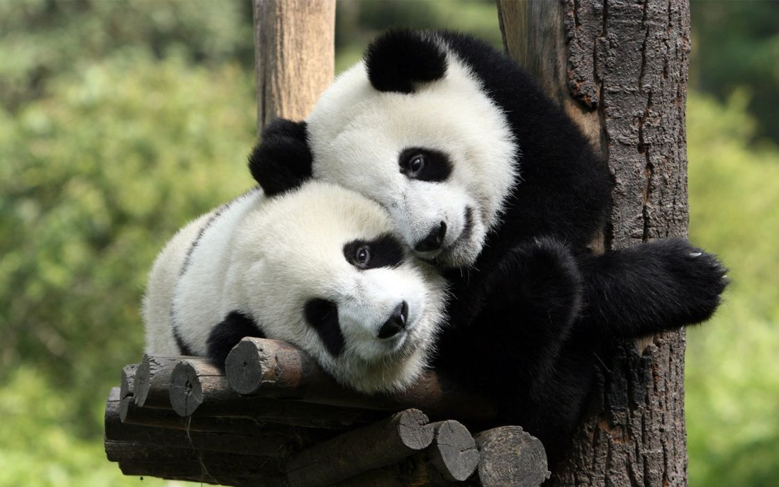 Funny love animal Panda is cute wallpaper