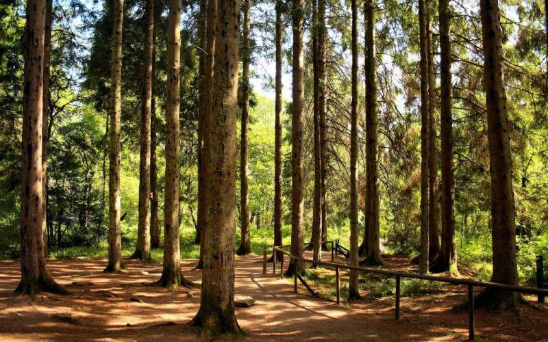 Forest long trees startling nature wallpaper