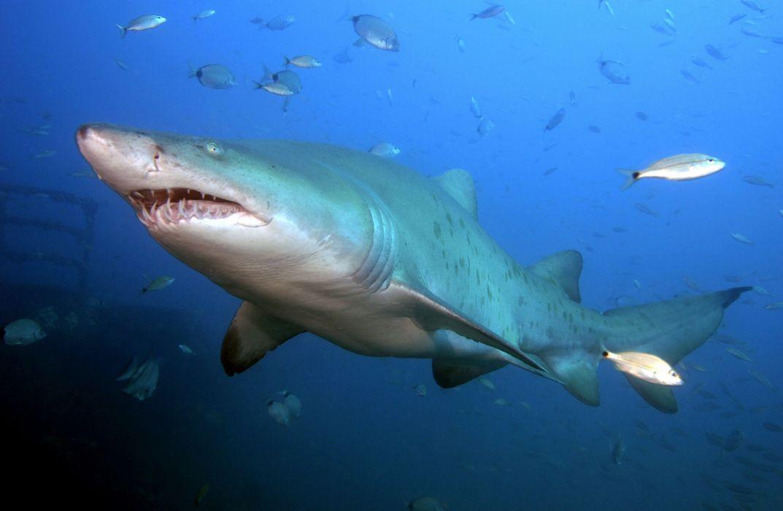tiburon tigre animales acuatico wallpaper