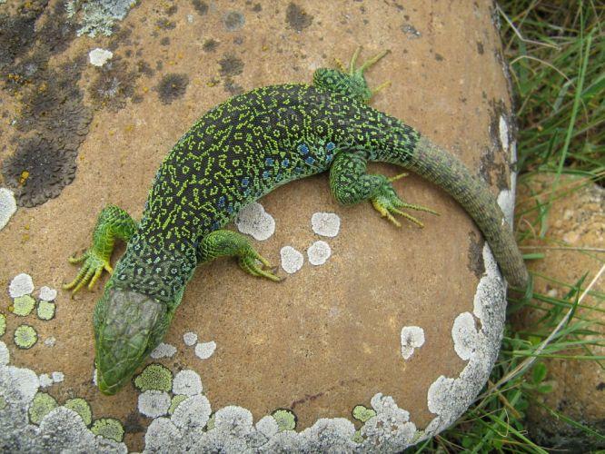 lagarto verde reptil animales wallpaper