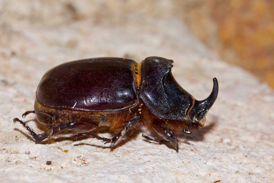 escarabajo rinoceronte insecto animales wallpaper