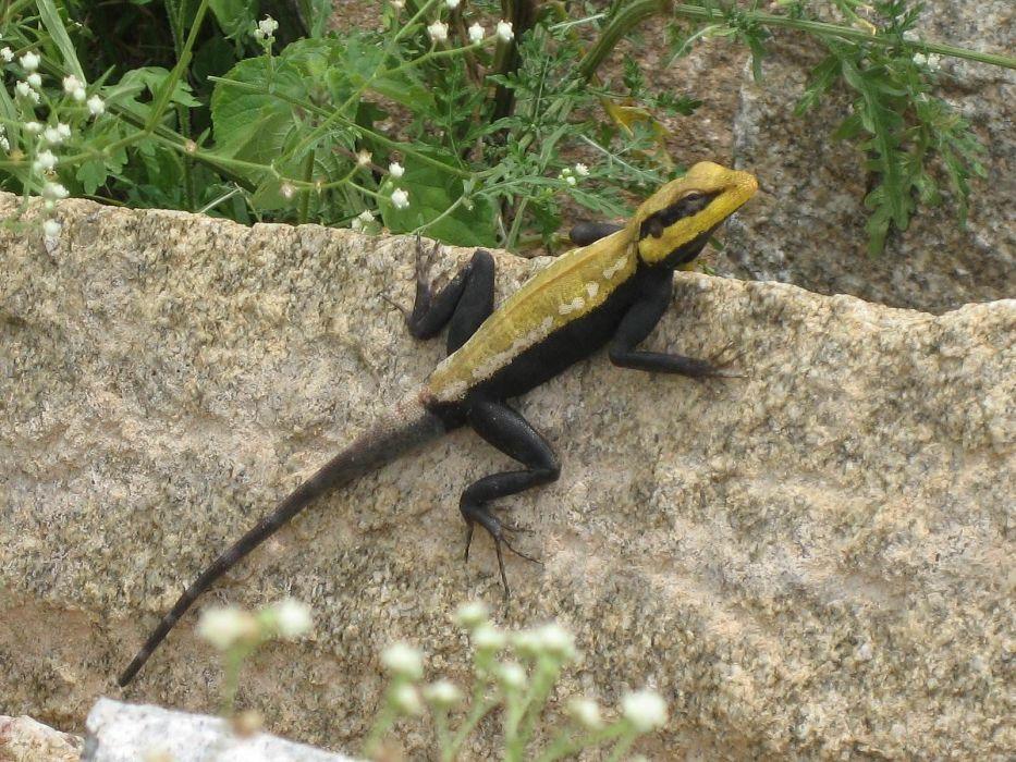 salamandra amarillo negro reptil animales wallpaper