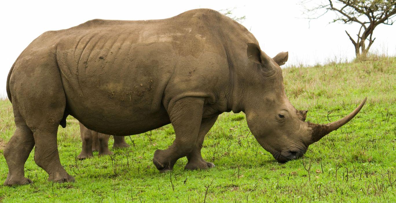 rinoceronte animal vegetariano wallpaper