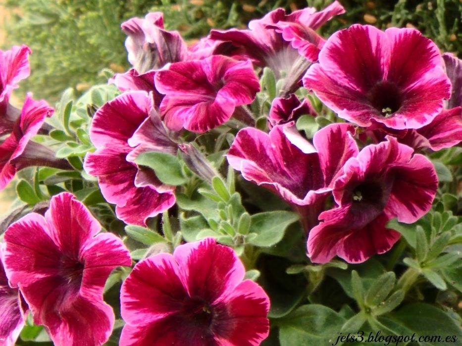 flores petunias naturaleza wallpaper