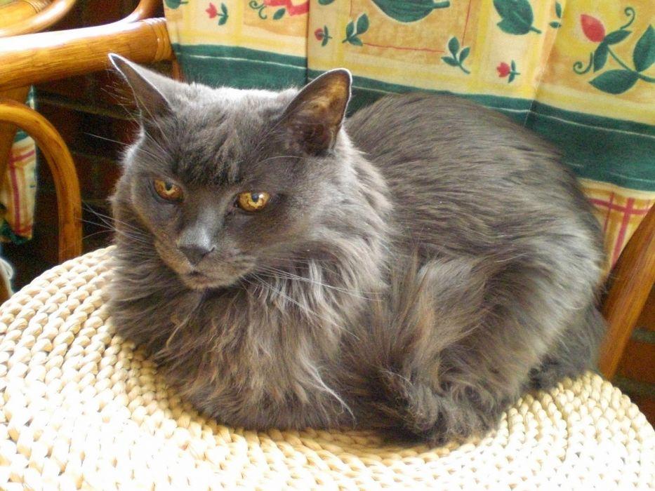 gato persa acostado felino animal wallpaper