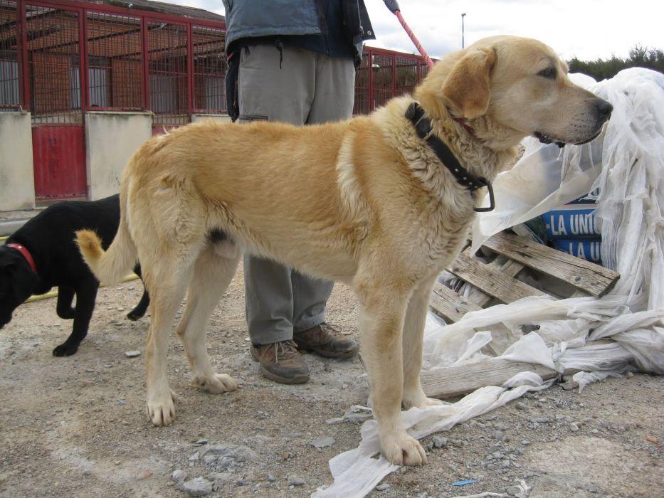 mastin canela perro animales wallpaper