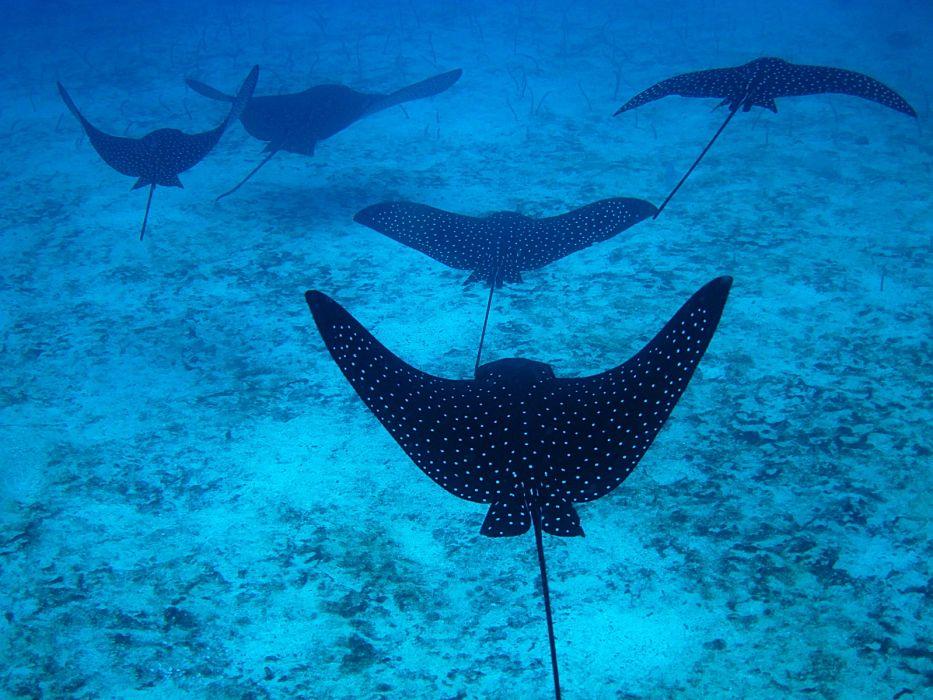 mantas rayas peces animales wallpaper