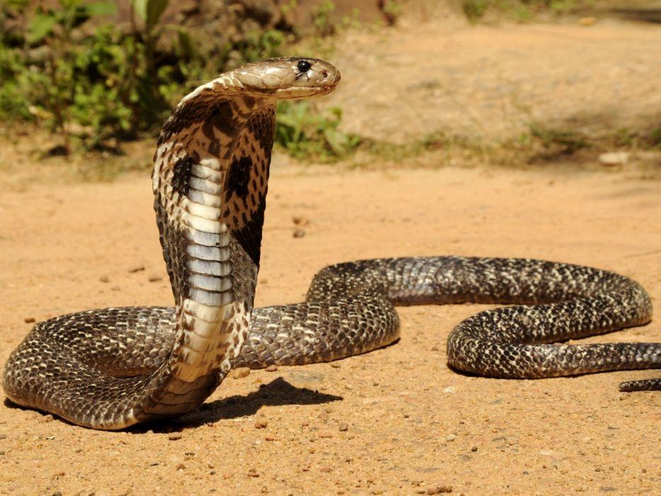 cobra real reptil animales wallpaper