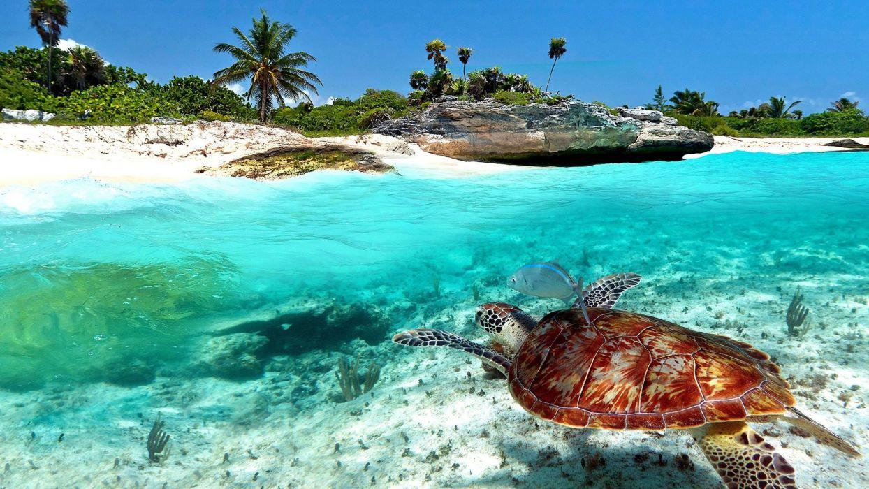 playa del carmen mexico tortuga marina wallpaper
