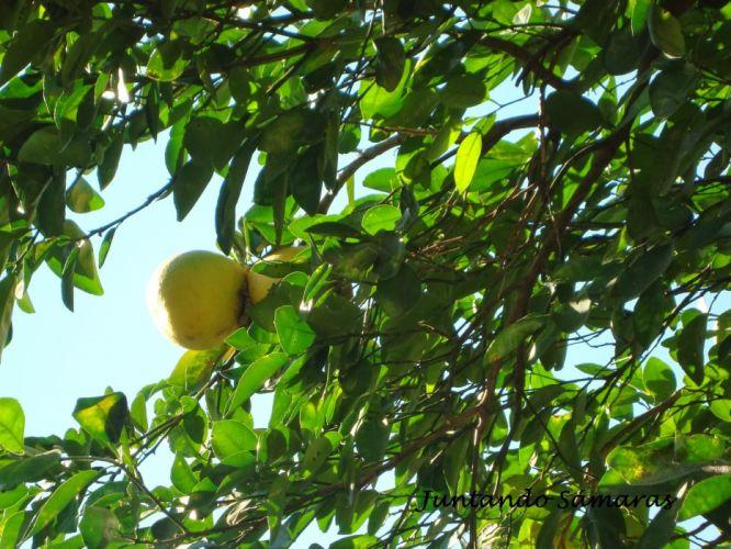 pomelo frutas arbol naturaleza wallpaper